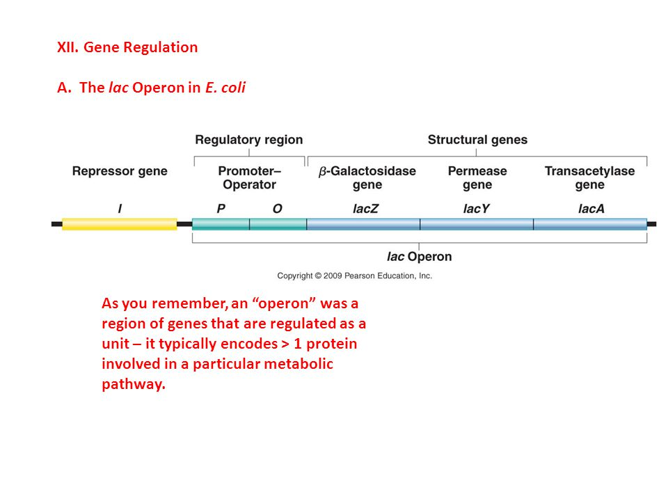 """XII. Gene Regulation A. The lac Operon in E. coli As you remember, an """"operon"""" was a region of genes that are regulated as a unit – it typically encod"""