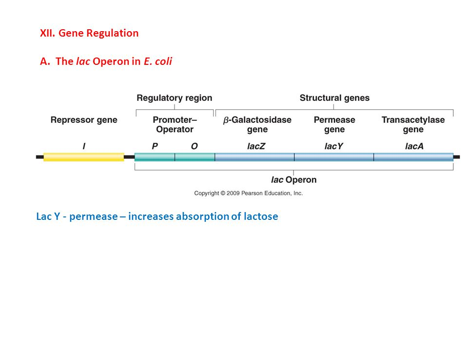 XII. Gene Regulation A. The lac Operon in E. coli Lac Y - permease – increases absorption of lactose