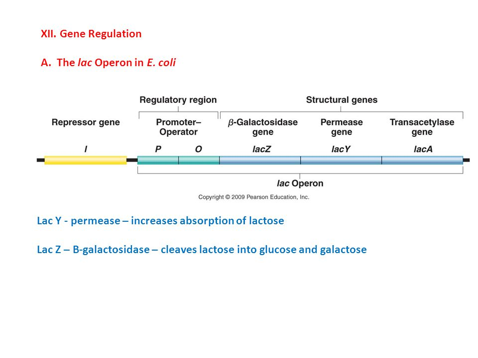 XII.Gene Regulation A. The lac Operon in E.