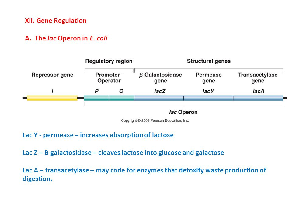 XII. Gene Regulation A. The lac Operon in E. coli Lac Y - permease – increases absorption of lactose Lac Z – B-galactosidase – cleaves lactose into gl