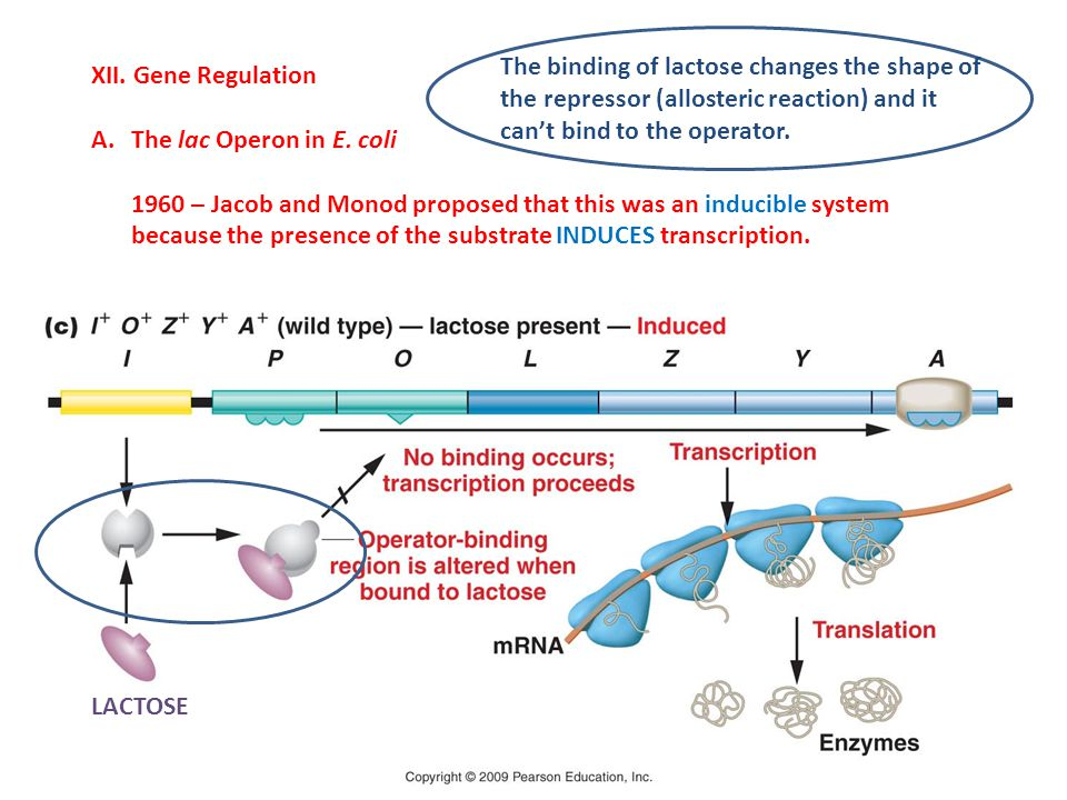 XII. Gene Regulation A.The lac Operon in E. coli 1960 – Jacob and Monod proposed that this was an inducible system because the presence of the substra