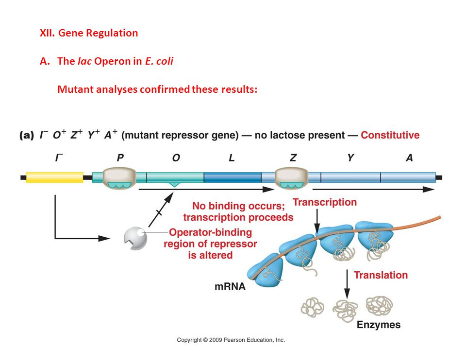 XII. Gene Regulation A.The lac Operon in E. coli Mutant analyses confirmed these results: