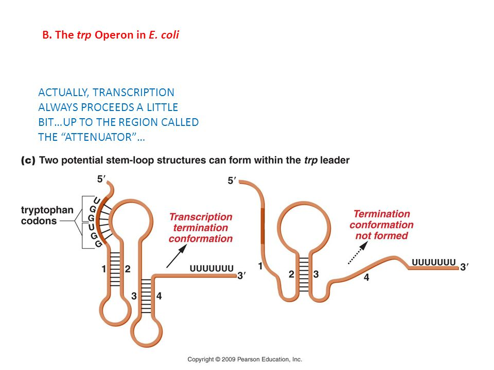"""B. The trp Operon in E. coli ACTUALLY, TRANSCRIPTION ALWAYS PROCEEDS A LITTLE BIT…UP TO THE REGION CALLED THE """"ATTENUATOR""""…"""
