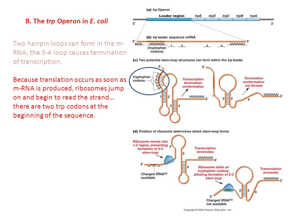 B. The trp Operon in E. coli Two hairpin loops can form in the m- RNA; the 3-4 loop causes termination of transcription. Because translation occurs as