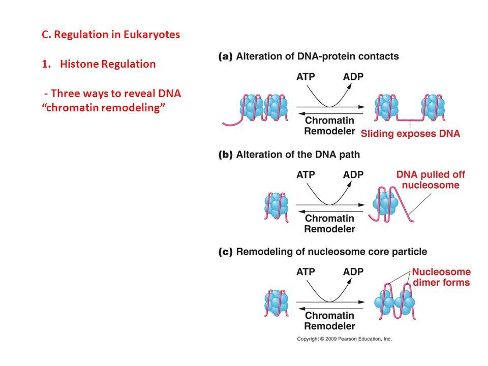 "C. Regulation in Eukaryotes 1.Histone Regulation - Three ways to reveal DNA ""chromatin remodeling"""