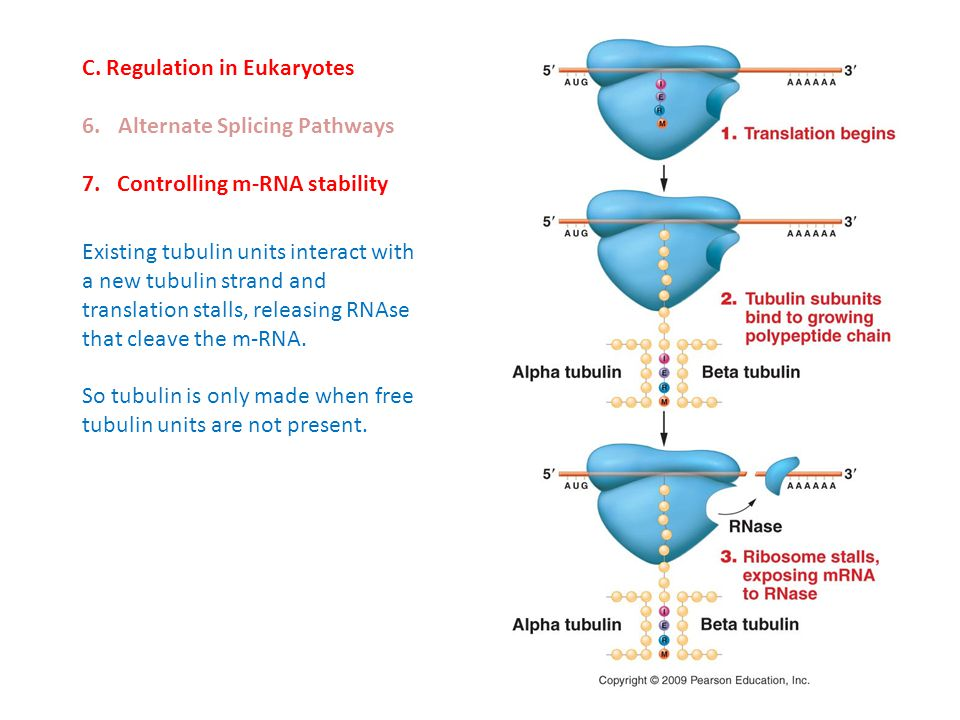 C. Regulation in Eukaryotes 6.Alternate Splicing Pathways 7. Controlling m-RNA stability Existing tubulin units interact with a new tubulin strand and