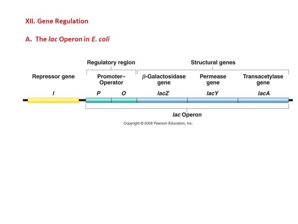 XII. Gene Regulation A. The lac Operon in E. coli