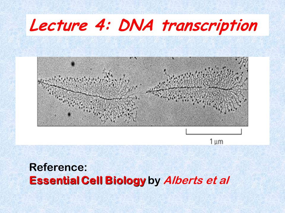 Lecture 4: DNA transcription Reference: Essential Cell Biology Essential Cell Biology by Alberts et al