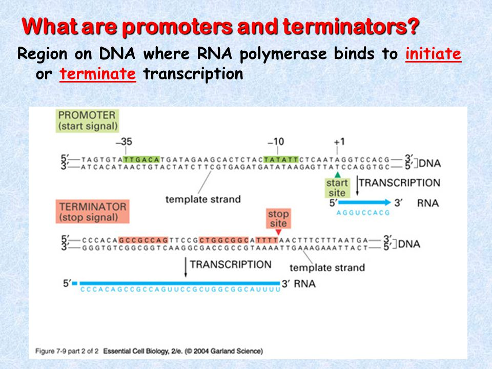 What are promoters and terminators.