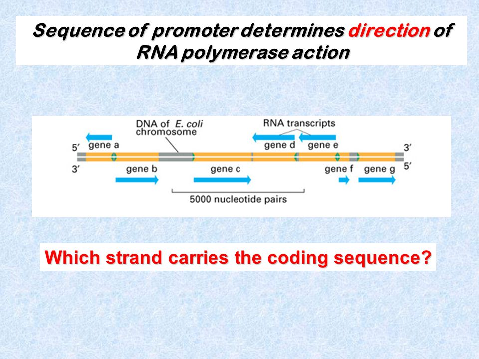 Which strand carries the coding sequence.