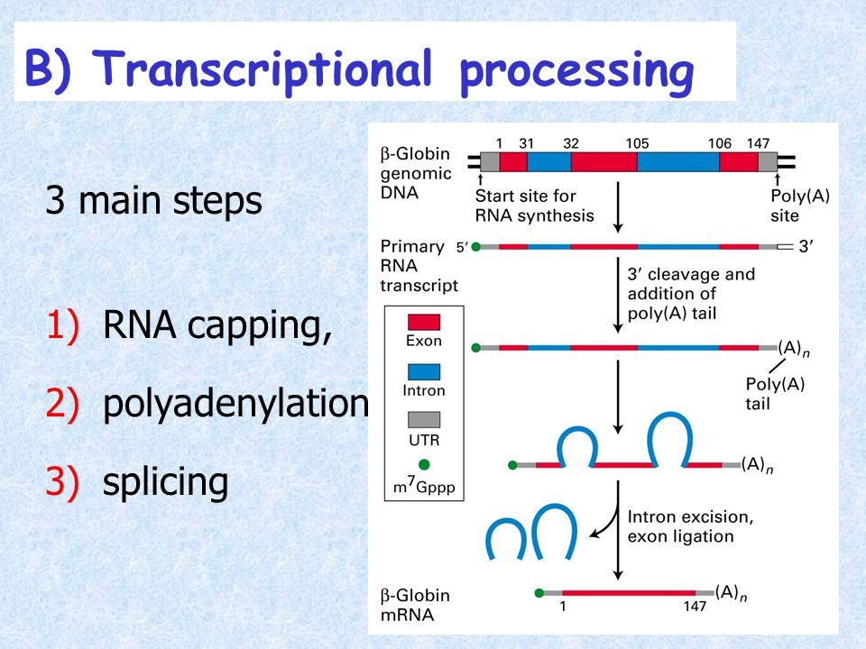 B) Transcriptional processing 3 main steps 1)RNA capping, 2)polyadenylation 3)splicing