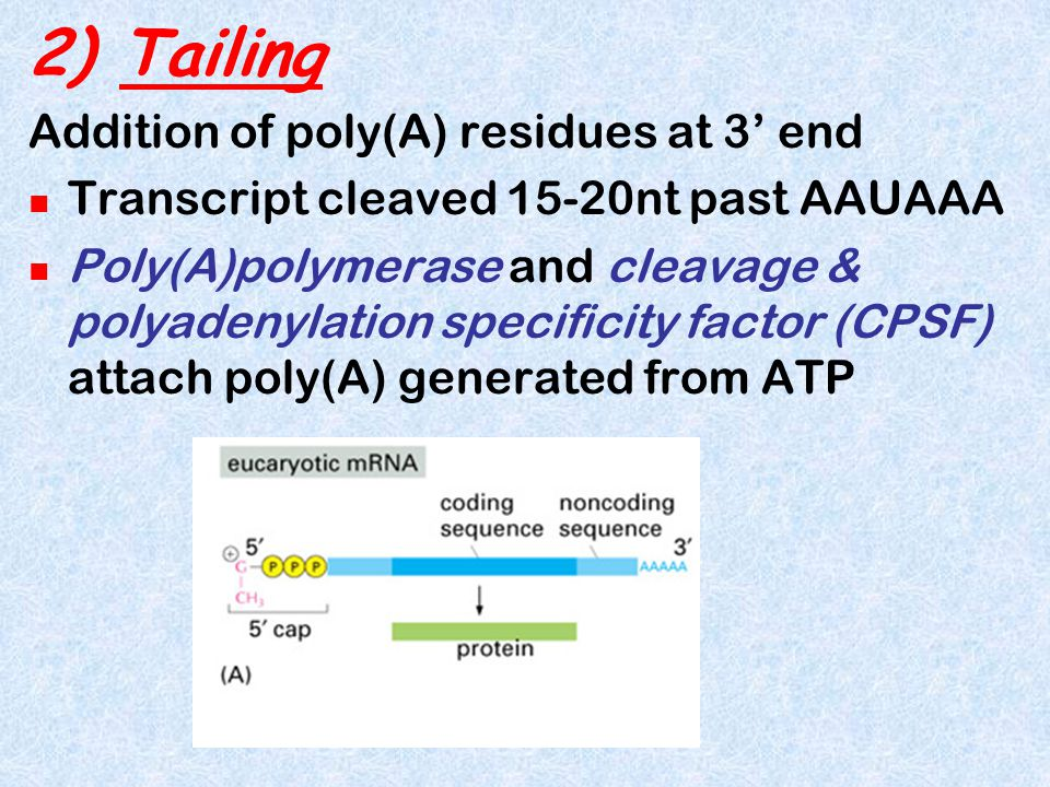 2) Tailing Addition of poly(A) residues at 3' end Transcript cleaved 15-20nt past AAUAAA Poly(A)polymerase and cleavage & polyadenylation specificity factor (CPSF) attach poly(A) generated from ATP