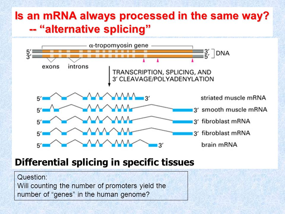 Is an mRNA always processed in the same way.