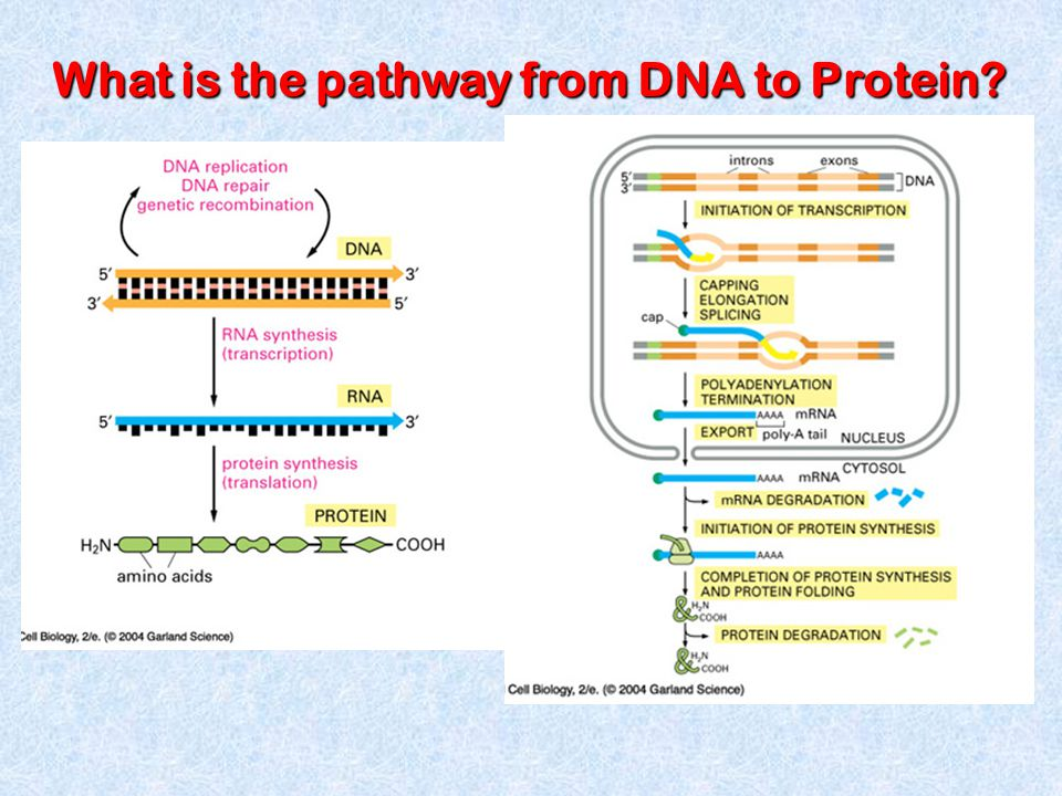 What is the pathway from DNA to Protein?