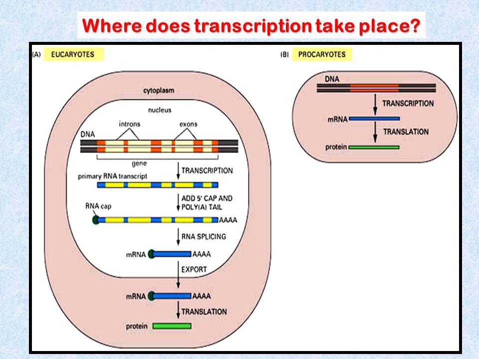 Where does transcription take place?