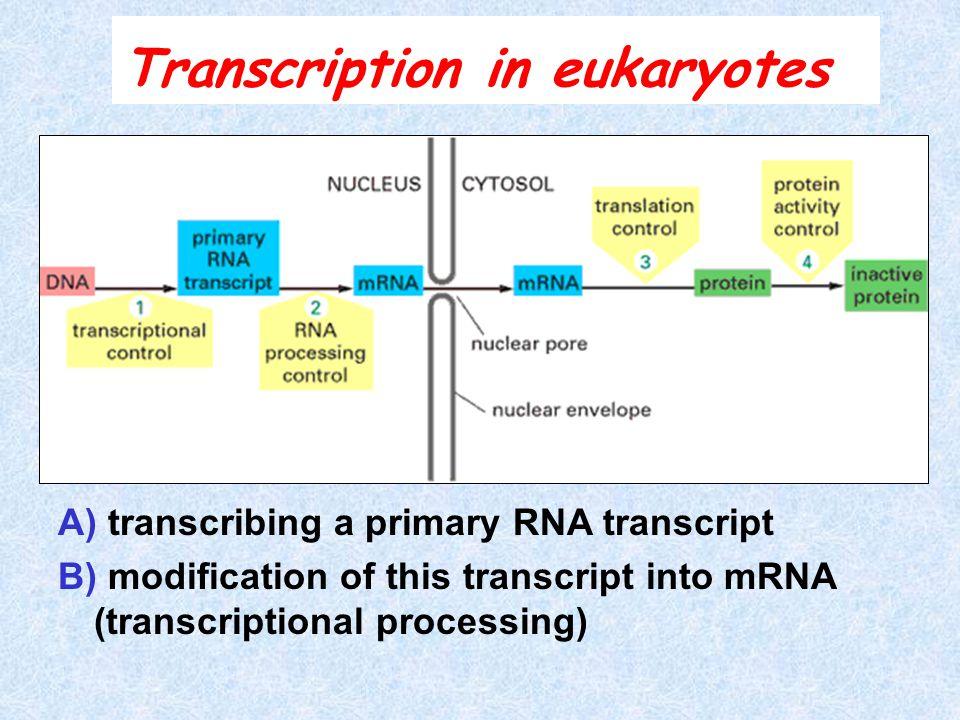 A) transcribing a primary RNA transcript B) modification of this transcript into mRNA (transcriptional processing) Transcription in eukaryotes