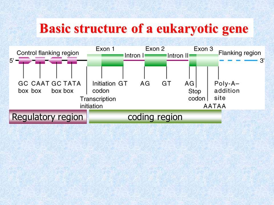 Basic structure of a eukaryotic gene Regulatory region coding region
