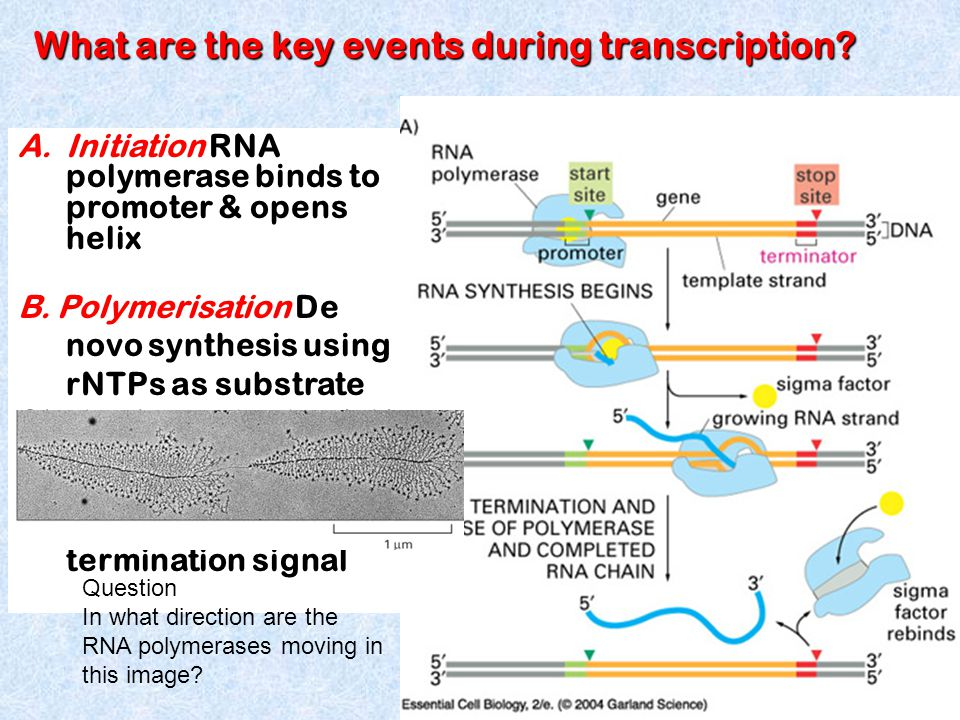 A.Initiation RNA polymerase binds to promoter & opens helix B.