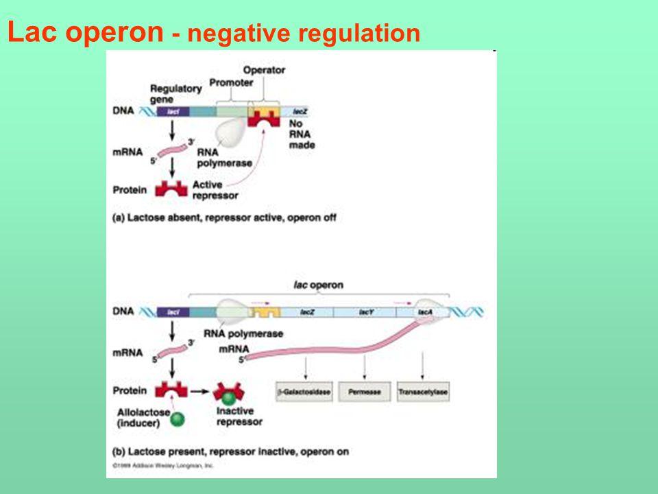 Lac operon - negative regulation
