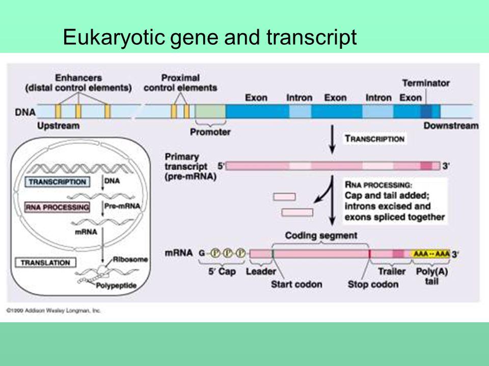 Eukaryotic gene and transcript