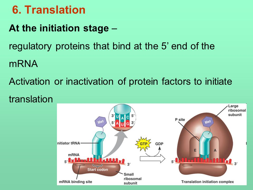 6. Translation At the initiation stage – regulatory proteins that bind at the 5' end of the mRNA Activation or inactivation of protein factors to init