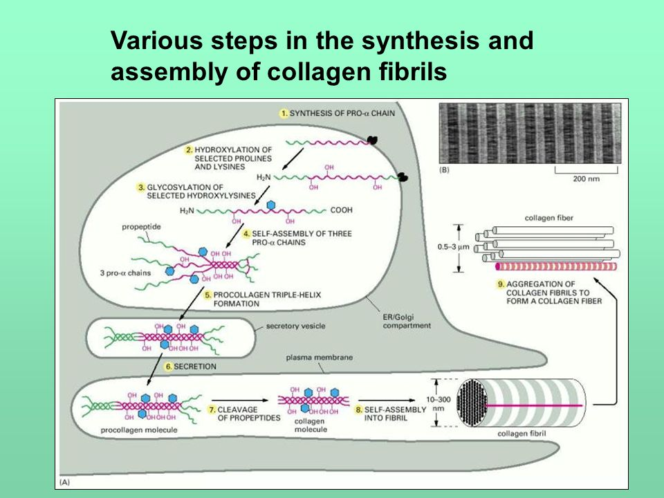 Various steps in the synthesis and assembly of collagen fibrils