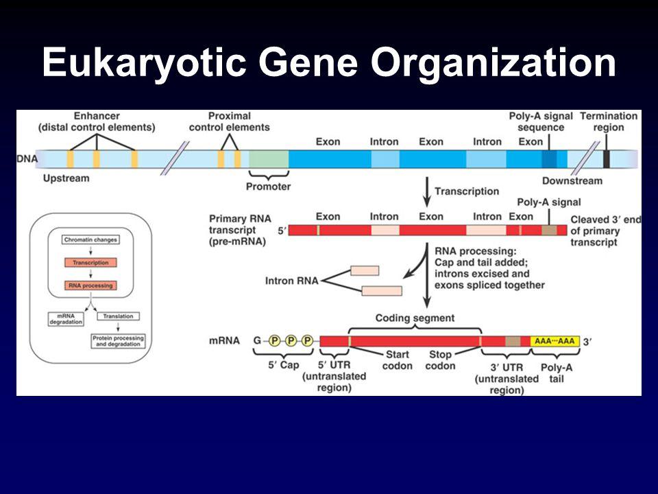 Eukaryotic Gene Organization
