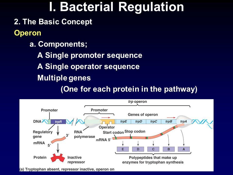I.Bacterial Regulation 2. The Basic Concept Operon b.