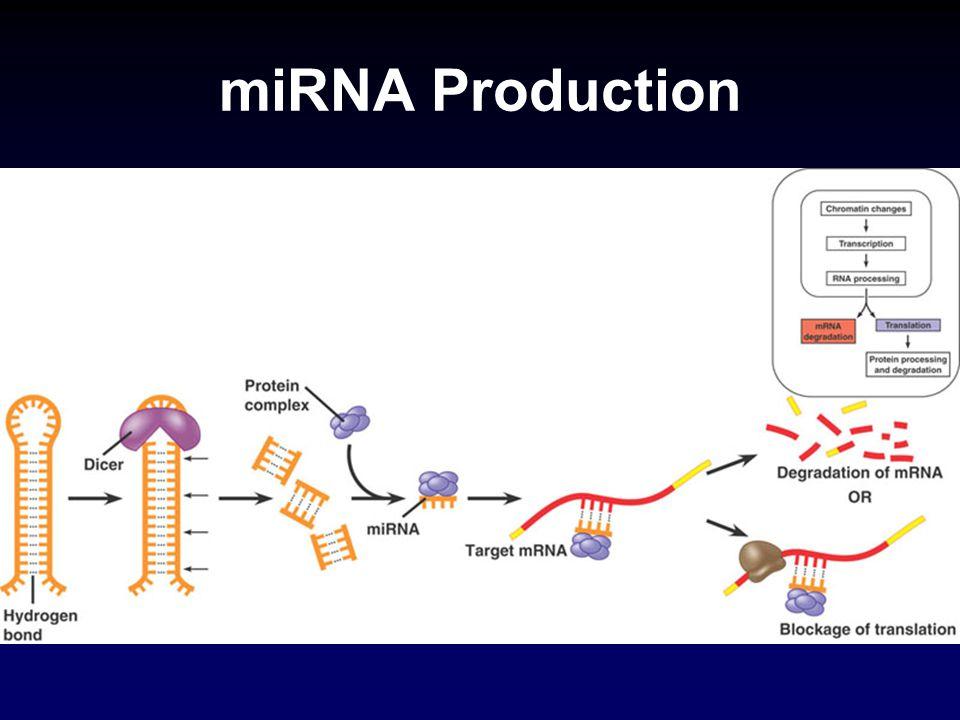 miRNA Production