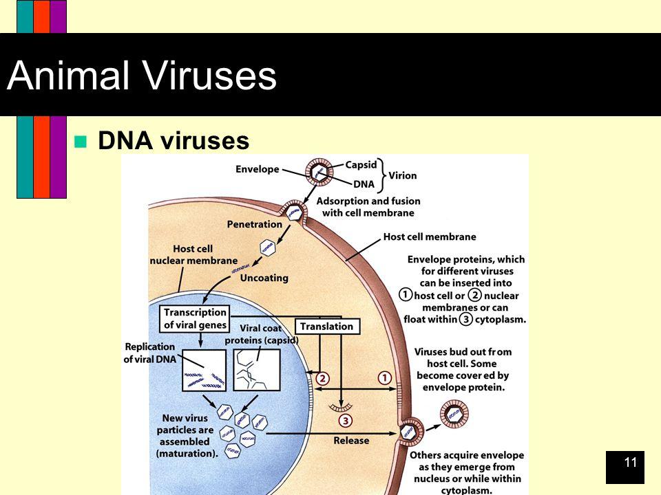 11 Animal Viruses DNA viruses