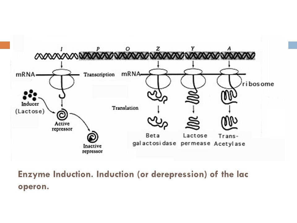 Enzyme Induction. Induction (or derepression) of the lac operon.