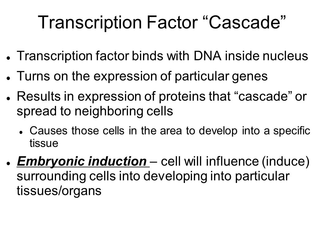 Transcription Factor Cascade Transcription factor binds with DNA inside nucleus Turns on the expression of particular genes Results in expression of proteins that cascade or spread to neighboring cells Causes those cells in the area to develop into a specific tissue Embryonic induction – cell will influence (induce) surrounding cells into developing into particular tissues/organs