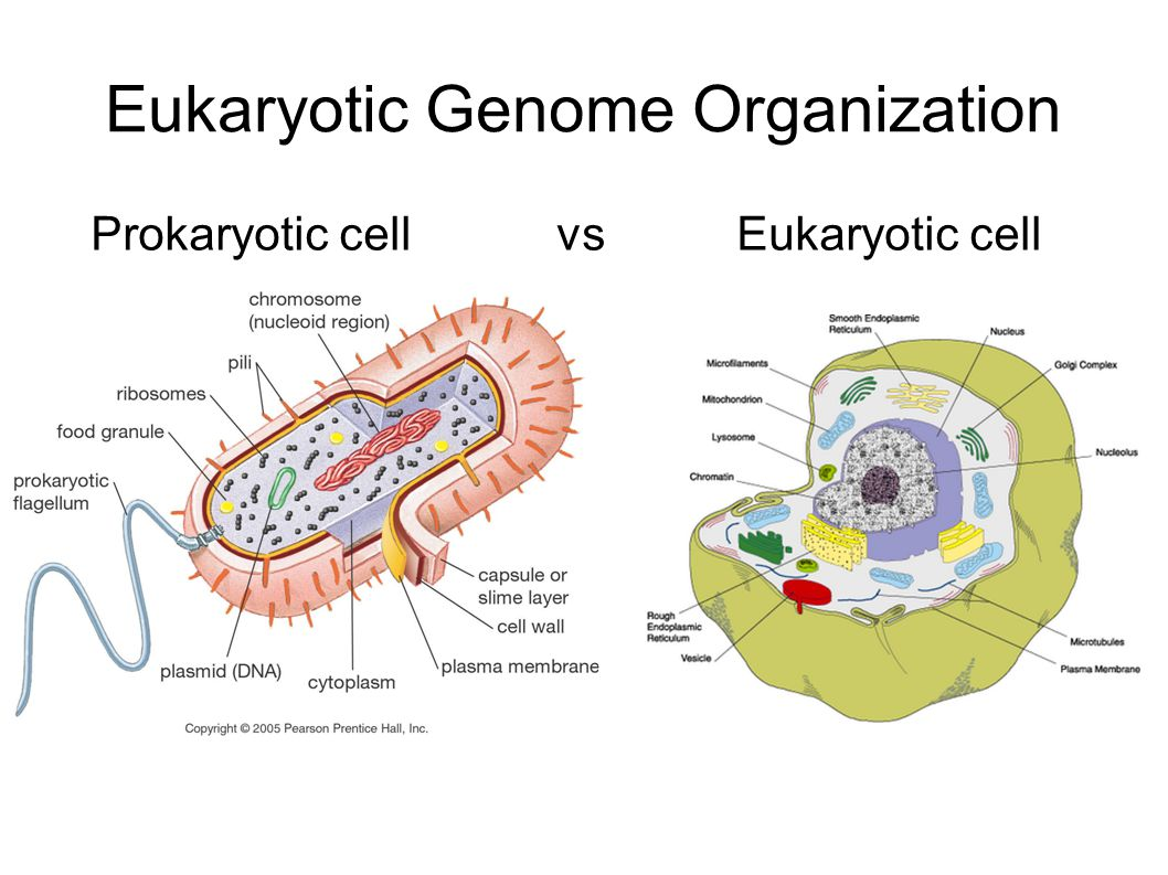 Eukaryotic Genome Organization Prokaryotic cell vs Eukaryotic cell