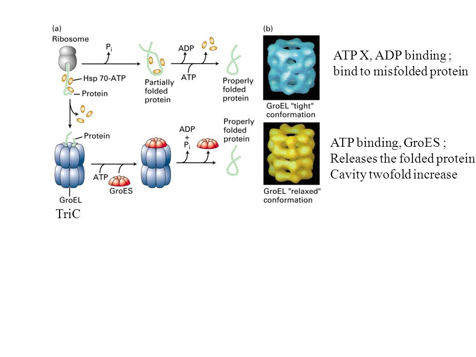TriC ATP X, ADP binding ; bind to misfolded protein ATP binding, GroES ; Releases the folded protein Cavity twofold increase