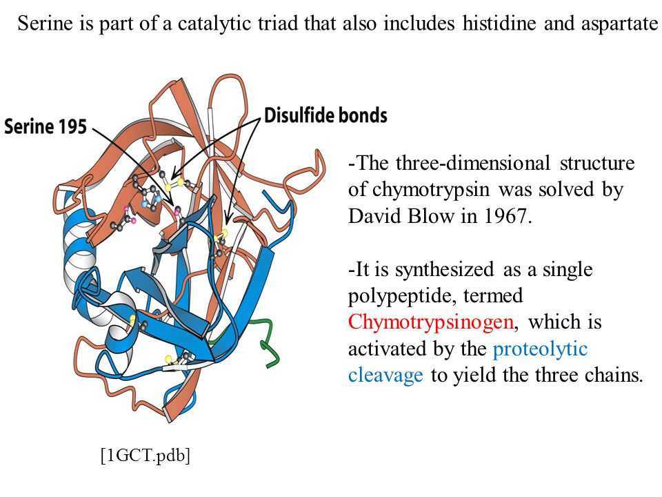 Serine is part of a catalytic triad that also includes histidine and aspartate -The three-dimensional structure of chymotrypsin was solved by David Blow in 1967.