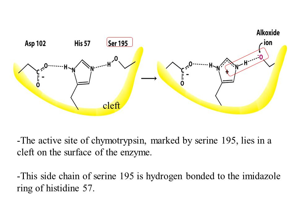 -The active site of chymotrypsin, marked by serine 195, lies in a cleft on the surface of the enzyme.