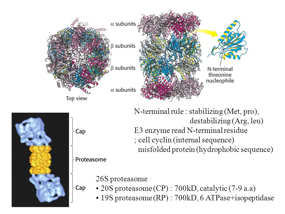 N-terminal rule : stabilizing (Met, pro), destabilizing (Arg, leu) E3 enzyme read N-terminal residue ; cell cyclin (internal sequence) misfolded protein (hydrophobic sequence) 26S proteasome 20S proteasome (CP) : 700kD, catalytic (7-9 a.a) 19S proteasome (RP) : 700kD, 6 ATPase+isopeptidase