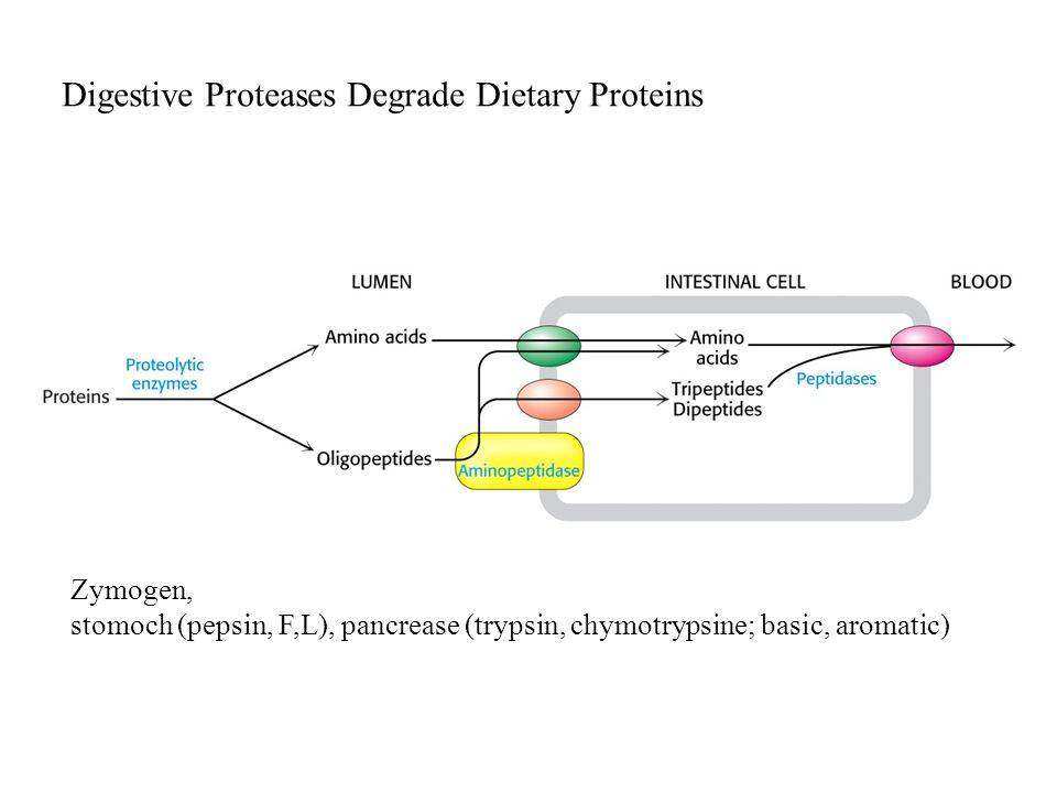 Digestive Proteases Degrade Dietary Proteins Zymogen, stomoch (pepsin, F,L), pancrease (trypsin, chymotrypsine; basic, aromatic)