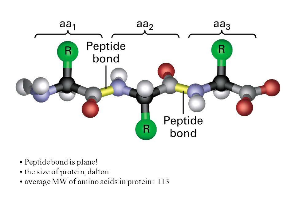 Peptide bond is plane! the size of protein; dalton average MW of amino acids in protein : 113