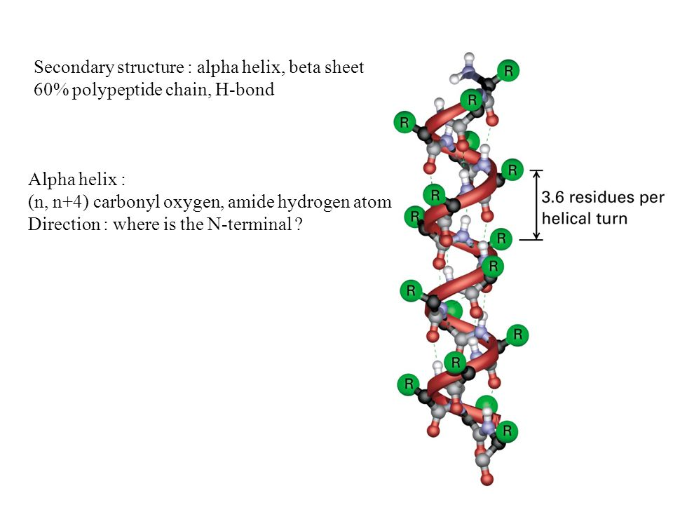 Secondary structure : alpha helix, beta sheet 60% polypeptide chain, H-bond Alpha helix : (n, n+4) carbonyl oxygen, amide hydrogen atom Direction : where is the N-terminal