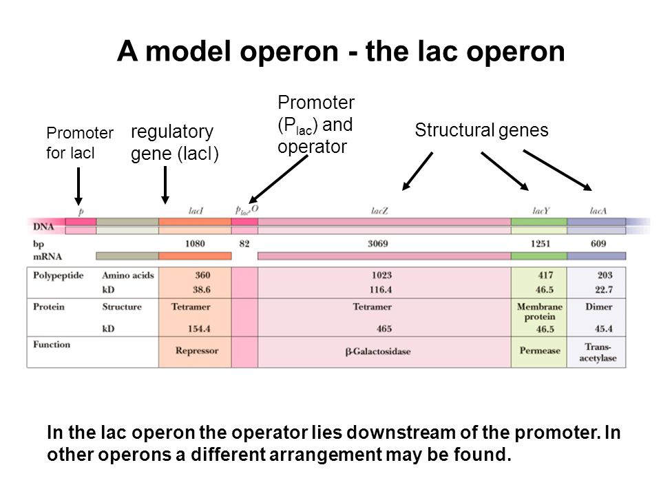A model operon - the lac operon Structural genes Promoter (P lac ) and operator Promoter for lacI regulatory gene (lacI) In the lac operon the operato
