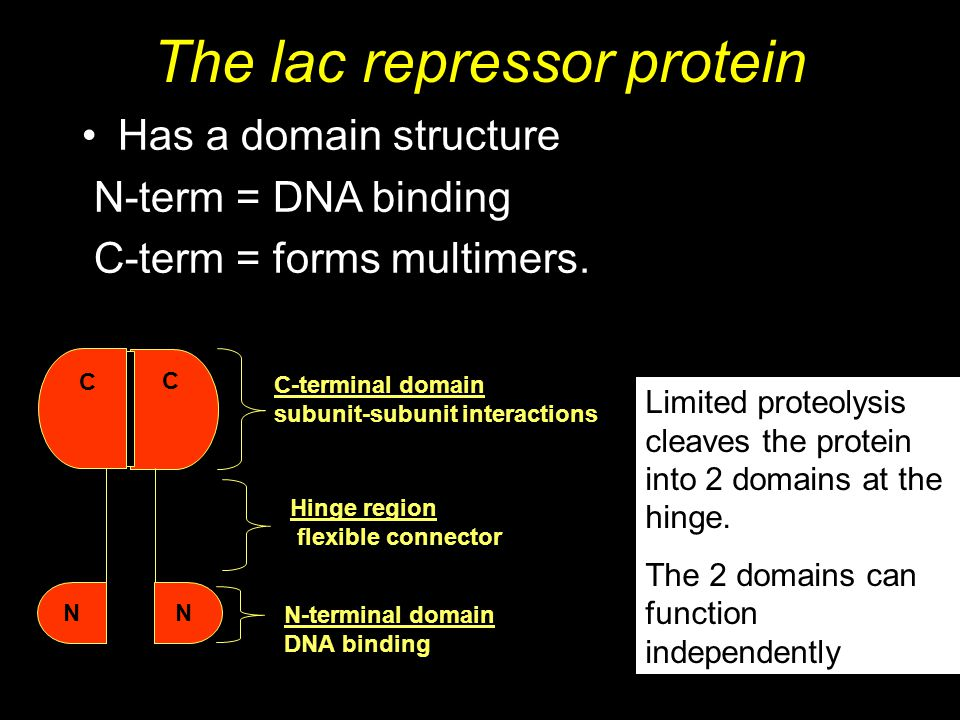 The lac repressor protein Has a domain structure N-term = DNA binding C-term = forms multimers. C-terminal domain subunit-subunit interactions N-termi