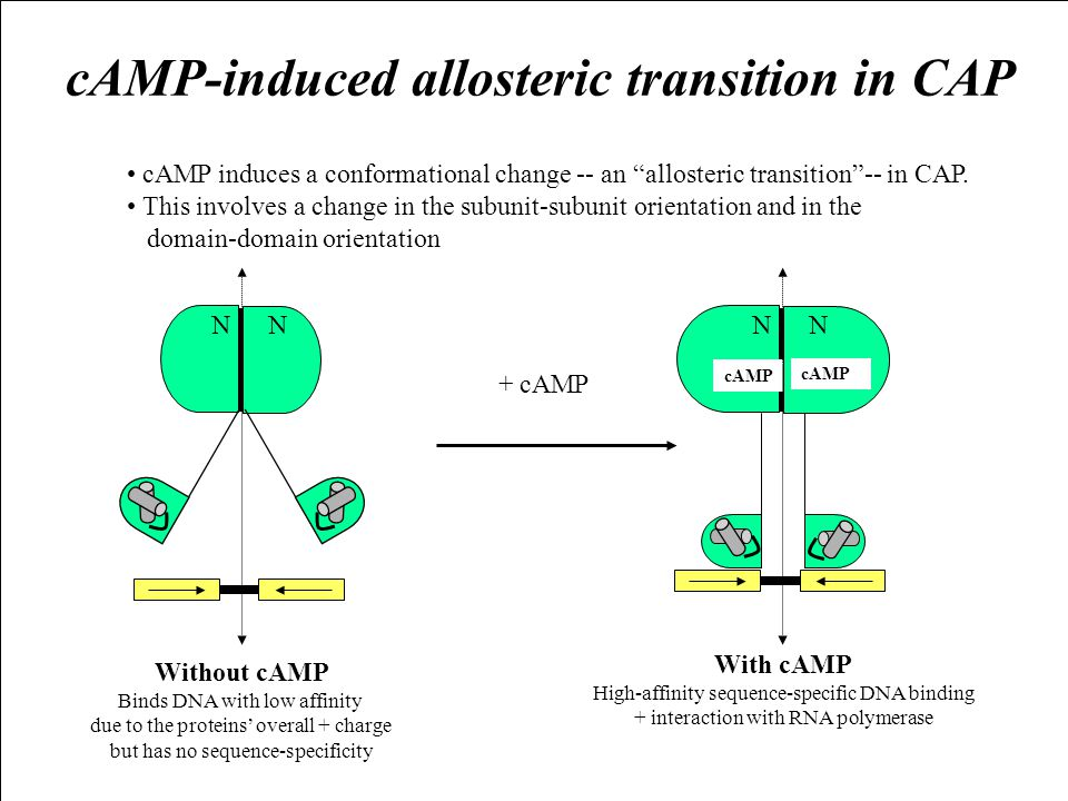 "cAMP-induced allosteric transition in CAP cAMP induces a conformational change -- an ""allosteric transition""-- in CAP. This involves a change in the s"