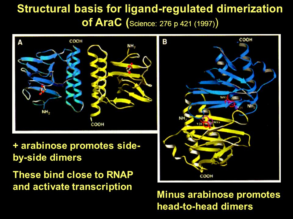 Structural basis for ligand-regulated dimerization of AraC ( Science: 276 p 421 (1997) ) + arabinose promotes side- by-side dimers These bind close to