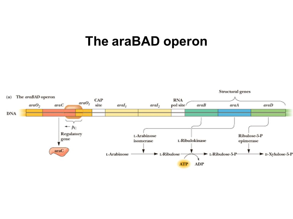 The araBAD operon