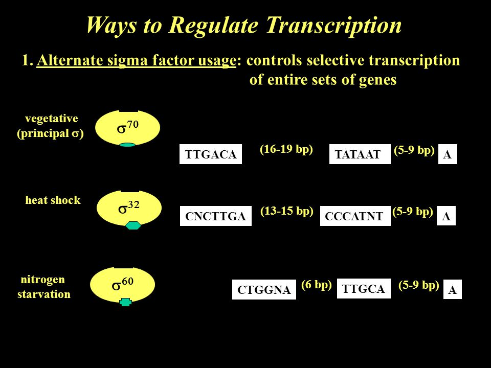 1. Alternate sigma factor usage: controls selective transcription of entire sets of genes     vegetative (principal  heat shock nitrogen starv