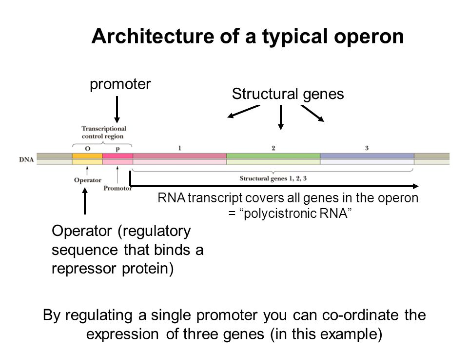 Structural genes promoter Operator (regulatory sequence that binds a repressor protein) Architecture of a typical operon By regulating a single promot