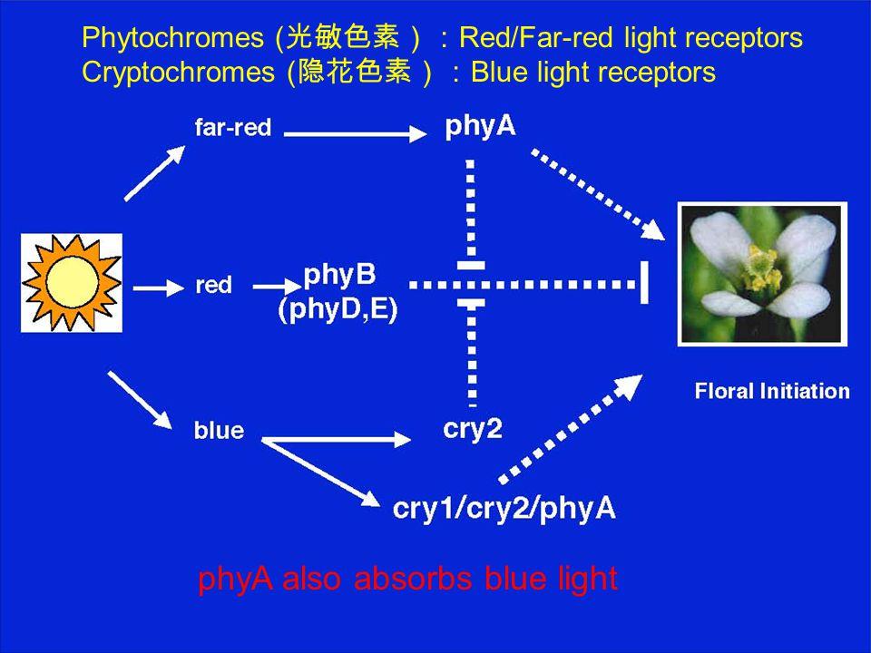 Phytochromes ( 光敏色素): Red/Far-red light receptors Cryptochromes ( 隐花色素): Blue light receptors phyA also absorbs blue light