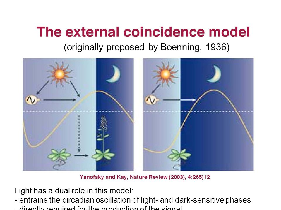Light has a dual role in this model: - entrains the circadian oscillation of light- and dark-sensitive phases - directly required for the production o