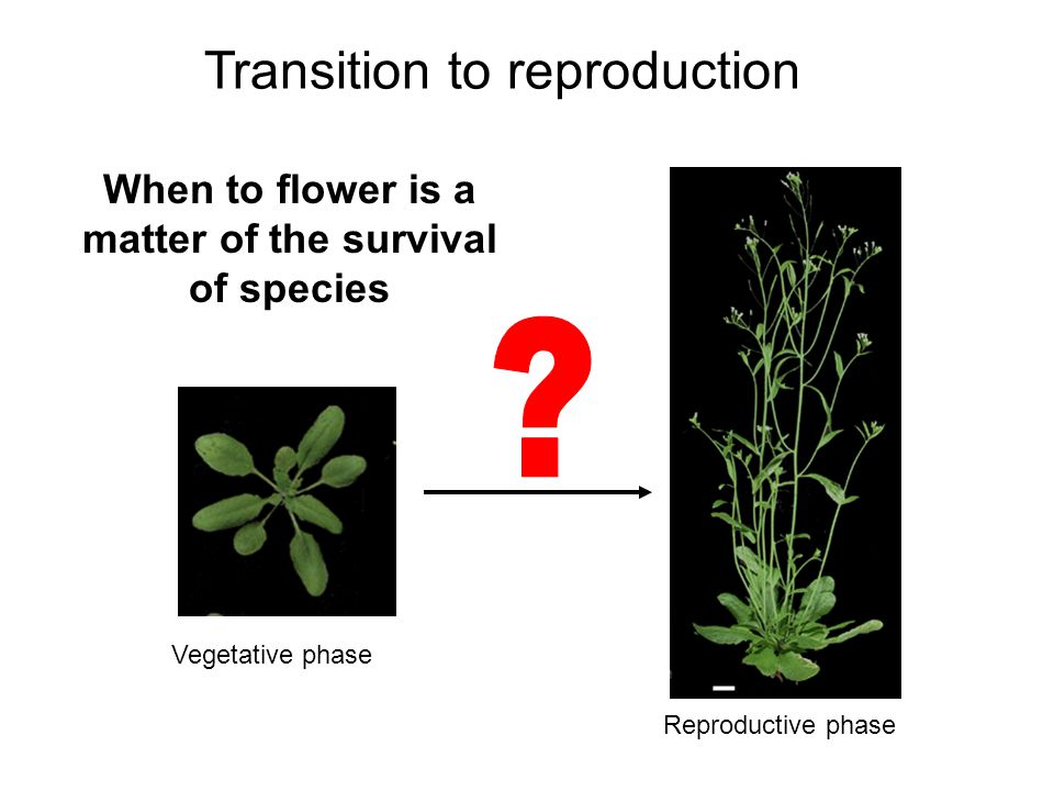 Two major pathways regulating floral transition Photoperiodic flowering ( 光周期开花 ): day- length dependent flowering time control Vernalization ( 春化 ): cold-promoted flowering